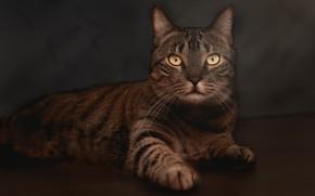 Картинка кошка, кот, взгляд, морда, поза, темный фон, серый, обработка, лапы, лежит, полосатый, желтые глаза, фотоарт