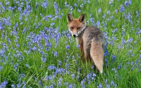 Картинка зелень, цветы, поза, поляна, весна, голубые, лиса, колокольчики