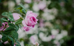 Картинка куст, весна, чайная роза, чайная, розовато-лиловый