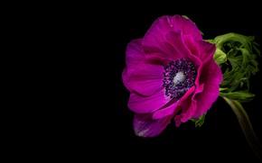 Картинка цветок, яркий, сиреневый, черный фон, анемона, композиция