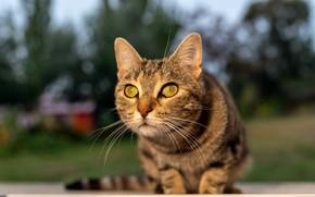 Картинка кошка, кот, взгляд, мордочка, боке, котейка
