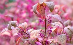 Картинка листья, ягоды, куст, сад, плоды, гроздья, сиреневые, боке, каликарпа, красивоплодник