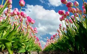 Картинка облака, лето., Тюльпаны розовые