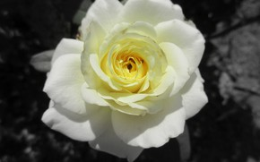 Картинка роза, жёлтая роза, Meduzanol ©, лето 2018