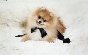 Картинка белый, взгляд, поза, улыбка, черный, собака, щенок, лежит, мех, бант, мордашка, коричневый, светлый фон, шпиц