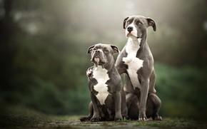 Картинка собаки, взгляд, природа, фон, вместе, две, пара, серые, парочка, дуэт, друзья, сидят, две собаки, в …