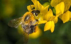 Картинка Макро, Цветок, Bumblebee, Насекомое, Macro, Шмель, Insect, Close-Up, Egor Kamelev, by Egor Kamelev