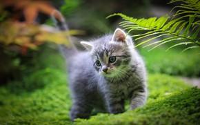 Картинка кошка, трава, котенок, серый, малыш, прогулка, боке