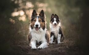 Обои лес, язык, собаки, трава, взгляд, свет, природа, поза, темный фон, земля, две, собака, малыш, пара, ...
