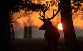 Картинка морда, солнце, закат, ветки, парк, олень, силуэт, рога, полумрак, сумерки