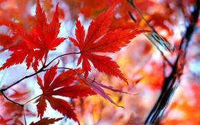 Картинка осень, листья, клён, багрянец