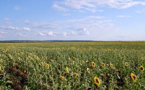 Картинка природа, nature, sunflowers, fields of sunfowers, подсолнгухи