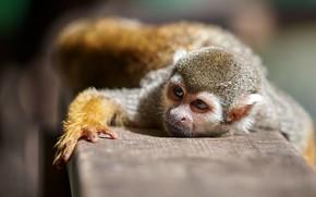 Картинка взгляд, поза, обезьяна, мартышка, саймири, беличья обезьяна