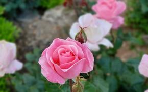 Картинка rose, garden, israel