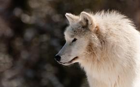 Картинка белый, взгляд, морда, свет, природа, поза, темный фон, волк, портрет, профиль, боке, арктический, полярный