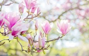 Картинка листья, свет, цветы, свежесть, ветки, фон, весна, бутоны, цветение, нежно, боке, магнолия