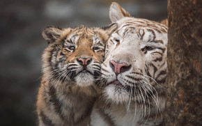 Картинка тигр, портрет, малыш, пара, белая, ласка, тигры, мама, тигрица, тигренок, морды