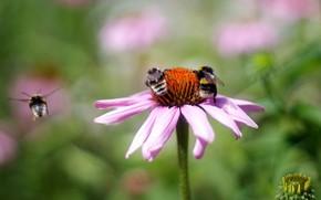 Картинка цветок, лето, макро, полет, цветы, насекомые, пчела, фон, розовый, пчелы, шмель, опыление, боке, размытый