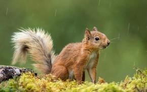 Картинка капли, природа, поза, дождь, мох, белка