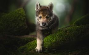 Картинка взгляд, лапа, мох, щенок, мордашка, Тамасканская собака