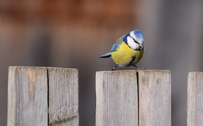 Картинка забор, синица, лазоревка