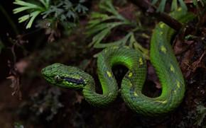 Картинка змея, рептилия, зеленая, природа