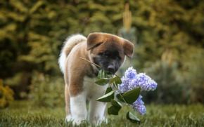 Картинка собака, щенок, сирень, боке, Американская акита, ветка сирени