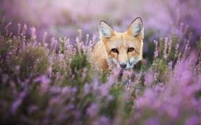 Картинка лето, глаза, взгляд, цветы, природа, животное, поляна, портрет, мордочка, лиса, рыжая, лисица, выглядывает, веточки, кустики, …