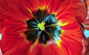 Картинка Макро, Цветы, Тюльпан красный