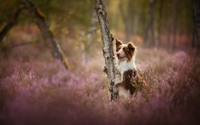 Картинка дерево, поляна, собака, вереск, Бордер-колли