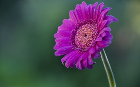 Картинка цветок, flower, pink, гербера, gerbera