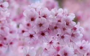Картинка макро, цветы, вишня, весна, сакура, розовые, цветение, боке