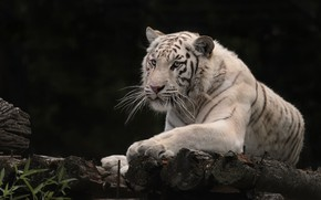 Картинка тигр, белый тигр, дикая кошка, тёмный фон