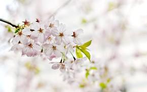 Картинка flower, cherry, spring, cherry blossom