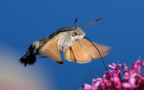 Картинка цветок, природа, фон, Hummingbird Hawk-moth
