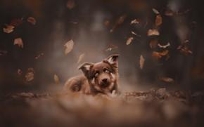 Картинка осень, взгляд, листья, собака, мордашка, боке, пёсик