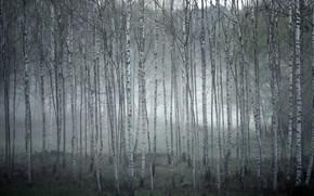 Картинка туман, берёзы, роща