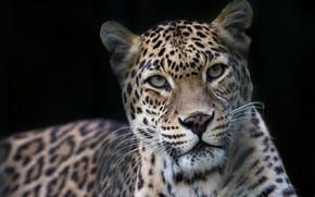Картинка взгляд, морда, портрет, леопард, дикая кошка, чёрный фон