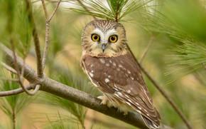 Картинка глаза, взгляд, ветки, природа, сова, птица, портрет, сидит, хвоя, зеленый фон, боке, сыч, сычик