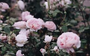 Картинка розы, кусты, by IrinaJoanne