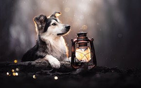 Картинка лампа, собака, фонарь, боке