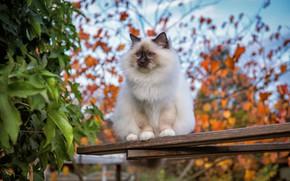 Картинка осень, кошка, кот, взгляд, листья, ветки, листва, доски, сад, голубые глаза, мордашка, сидит, кусты, боке, …