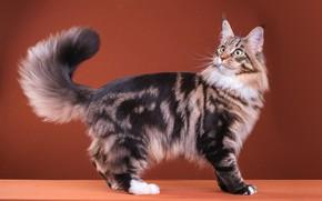 Картинка кошка, кот, взгляд, поза, серый, удивление, пушистый, мордочка, хвост, милый, окрас, стоит, полосатый, порода, коричневый …