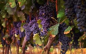 Картинка синий, виноград, гроздья