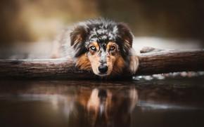 Картинка взгляд, морда, вода, собака, бревно, Австралийская овчарка, Аусси