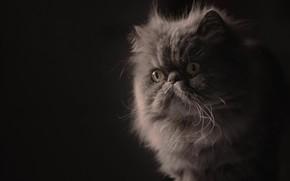 Картинка взгляд, портрет, мордочка, пушистая, тёмный фон, Персидская кошка