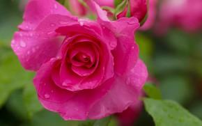 Картинка капли, макро, роза, лепестки