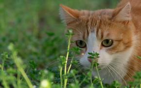 Картинка кошка, трава, мордочка, рыжая