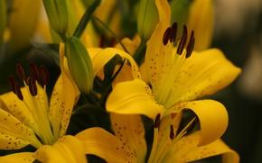 Картинка макро, лилии, букет, желтые, размытый фон