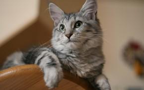Картинка кошка, кот, взгляд, мордочка, котейка, Мейн-кун